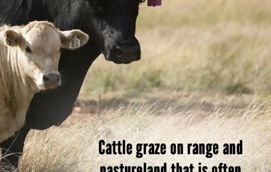 Cattle graze – Animal Agriculture Alliance